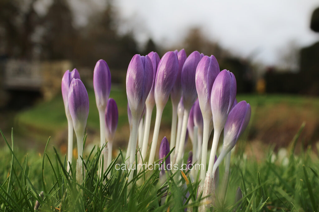 A group of purple crocuses sprout out from the grass.