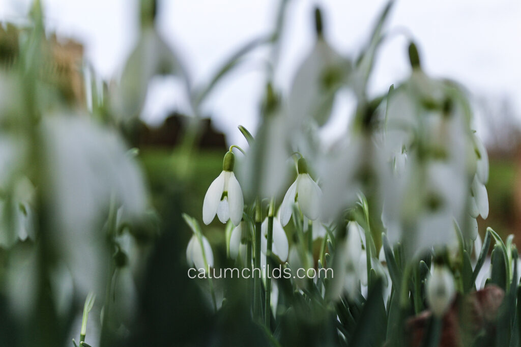 Snowdrops blurred in the foreground with one snowdrop in the background that is sharp.