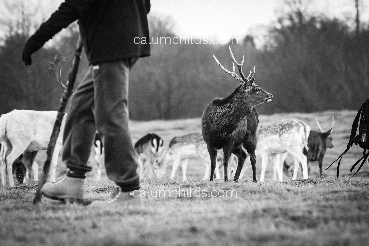 A male deer looks into the distance on the right of the image whilst a person walks by on the left.