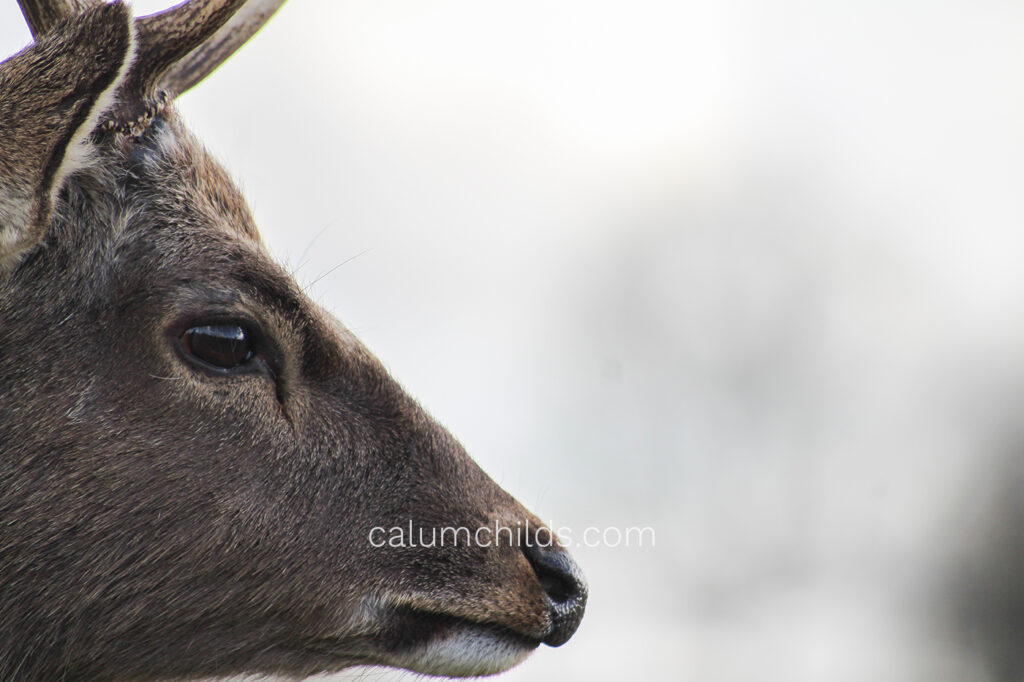 A male deer's head fills the left of the frame.