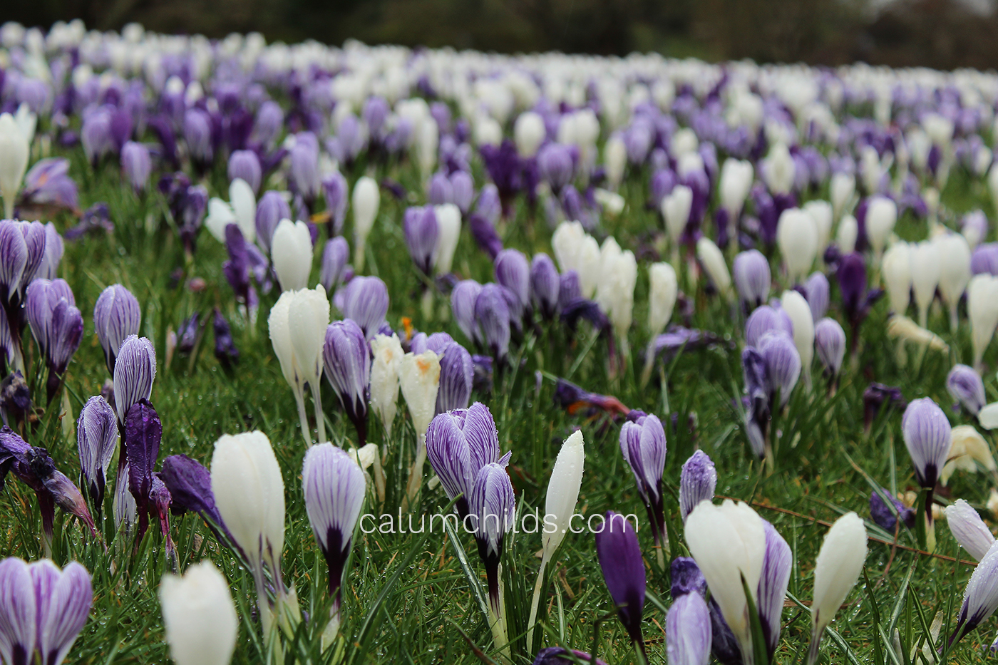 Sharp light purple and white crocuses in the foreground with blurred ones in the background.
