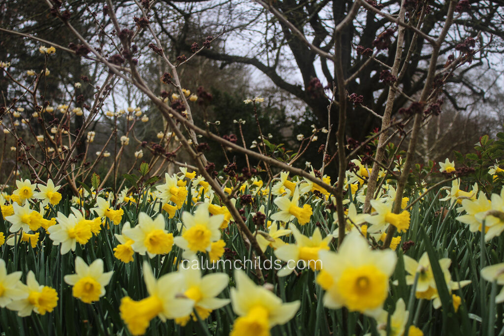 Daffodils grow in the foreground and background, with the small, bare trees giving a sense of distance.