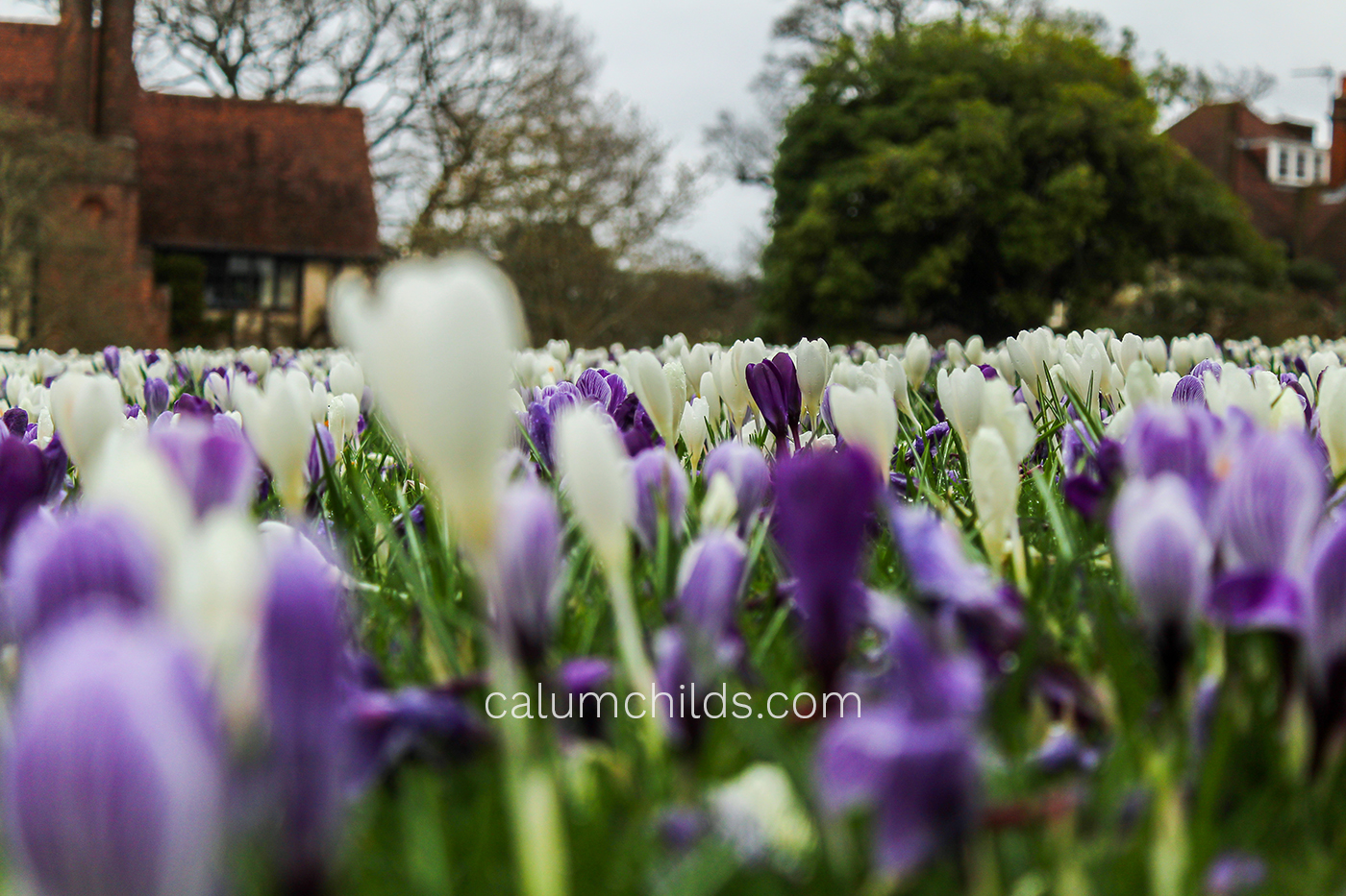 Purple and white crocuses grow in the foreground and in the background, with some blurred and some sharp.