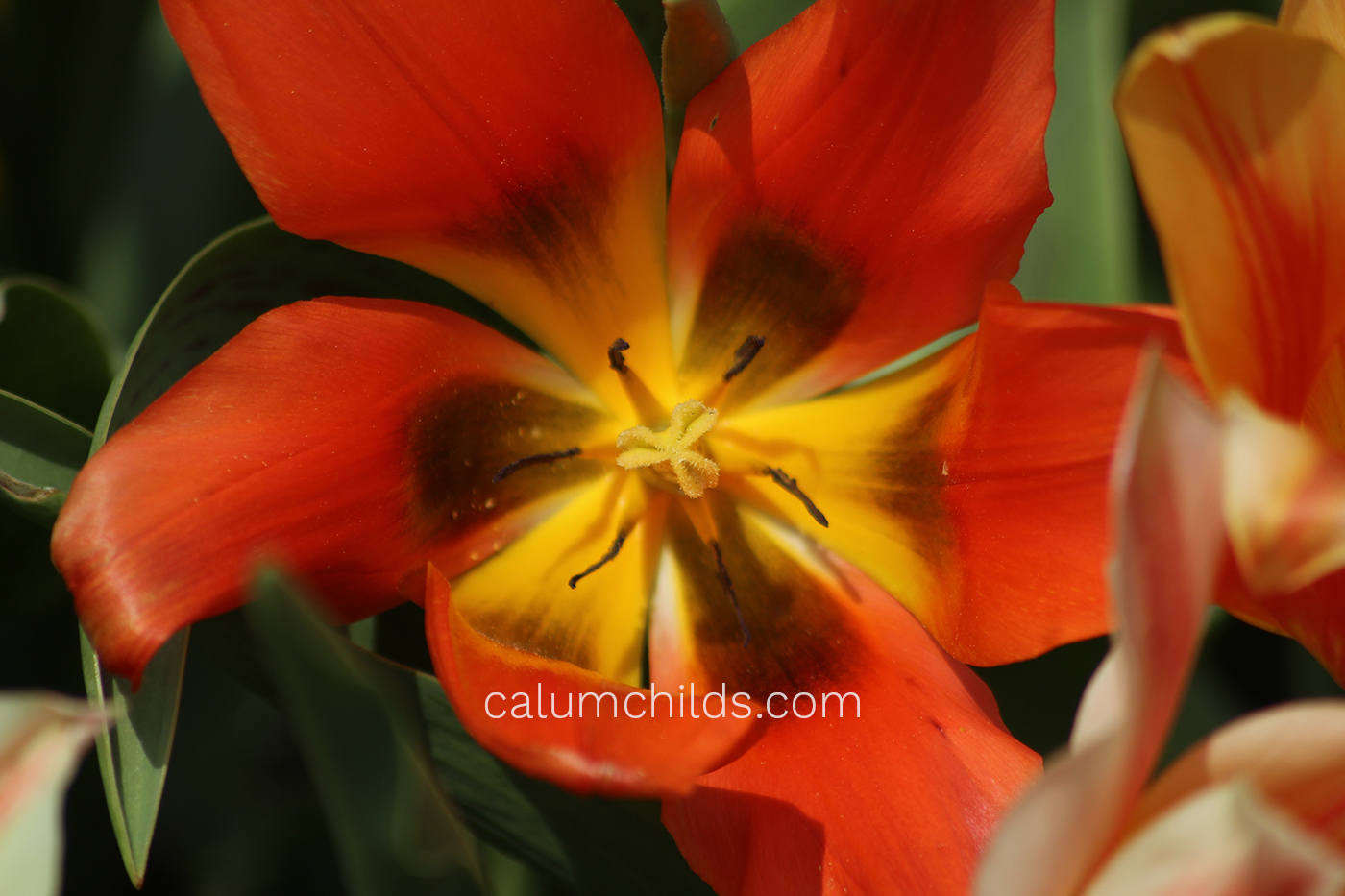 A tulip opens up it's stamen, exposing the black and yellow ends of the petals.