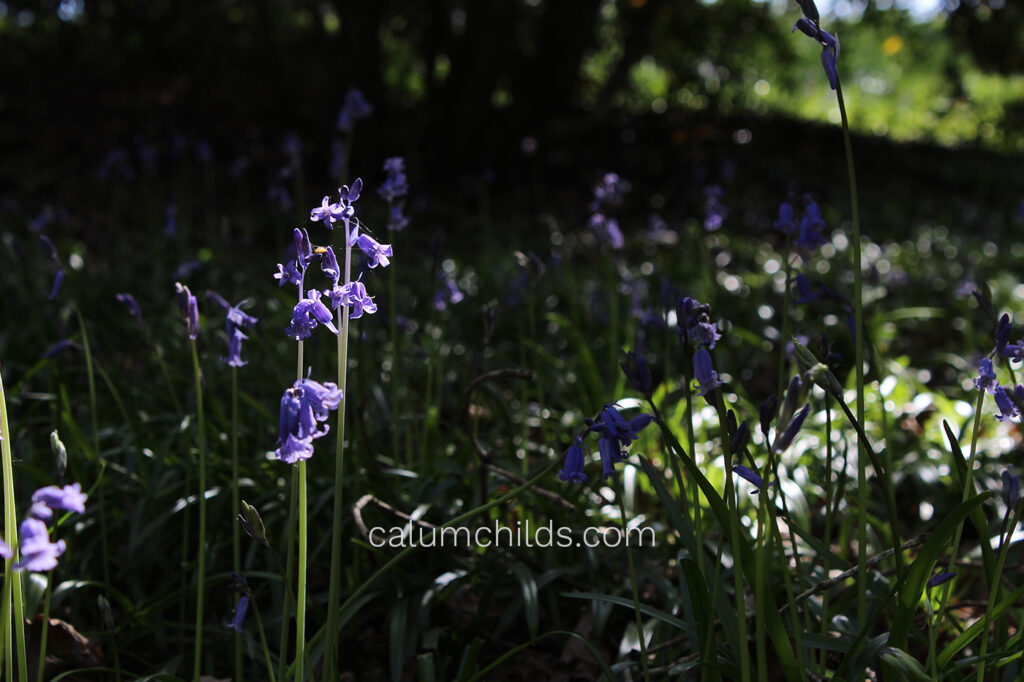 A single bluebell is lit up by the natural sunlight, with the rest of the bluebells in the dark under the canopy of multiple trees.