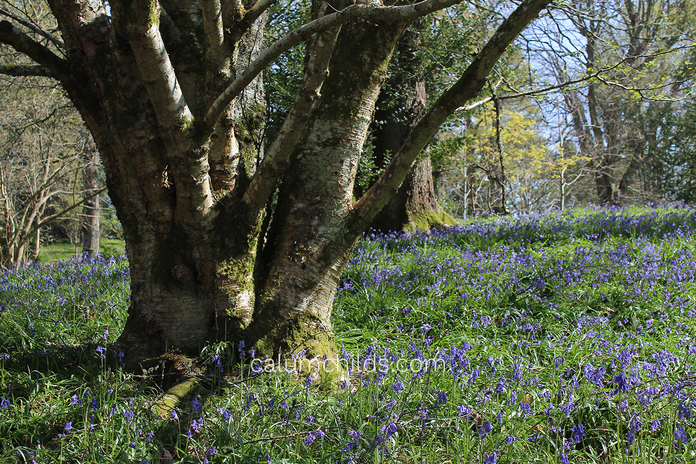 A thick tree is surrounded by a carpet of bluebells in a forest with a wide variety of trees.