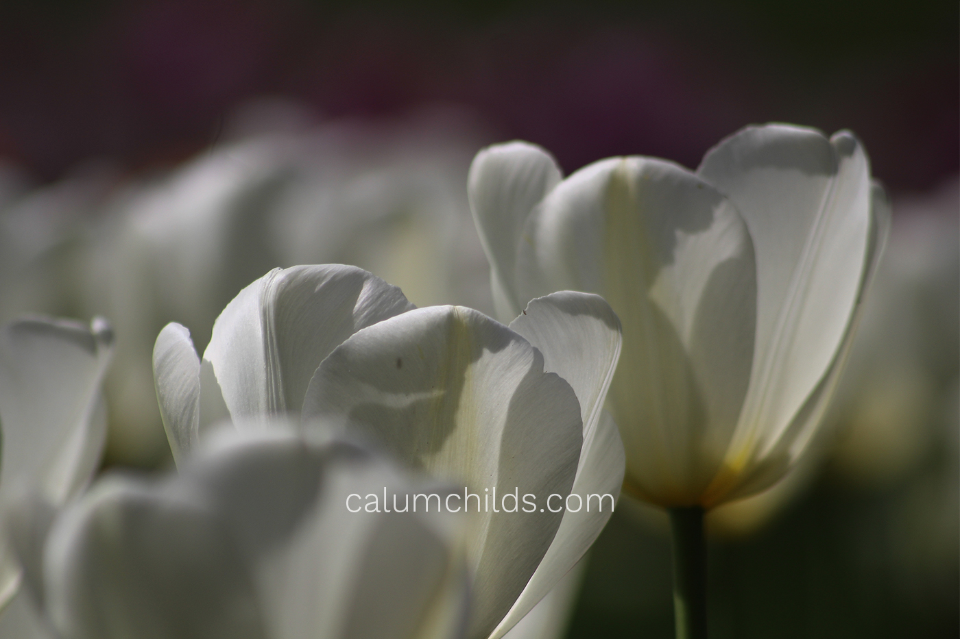 A white tulip in the middle shines in the spring sun.