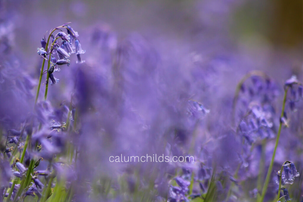 A bluebell that is taller than the rest is focused on, with the other bluebells being nothing more than a blur.