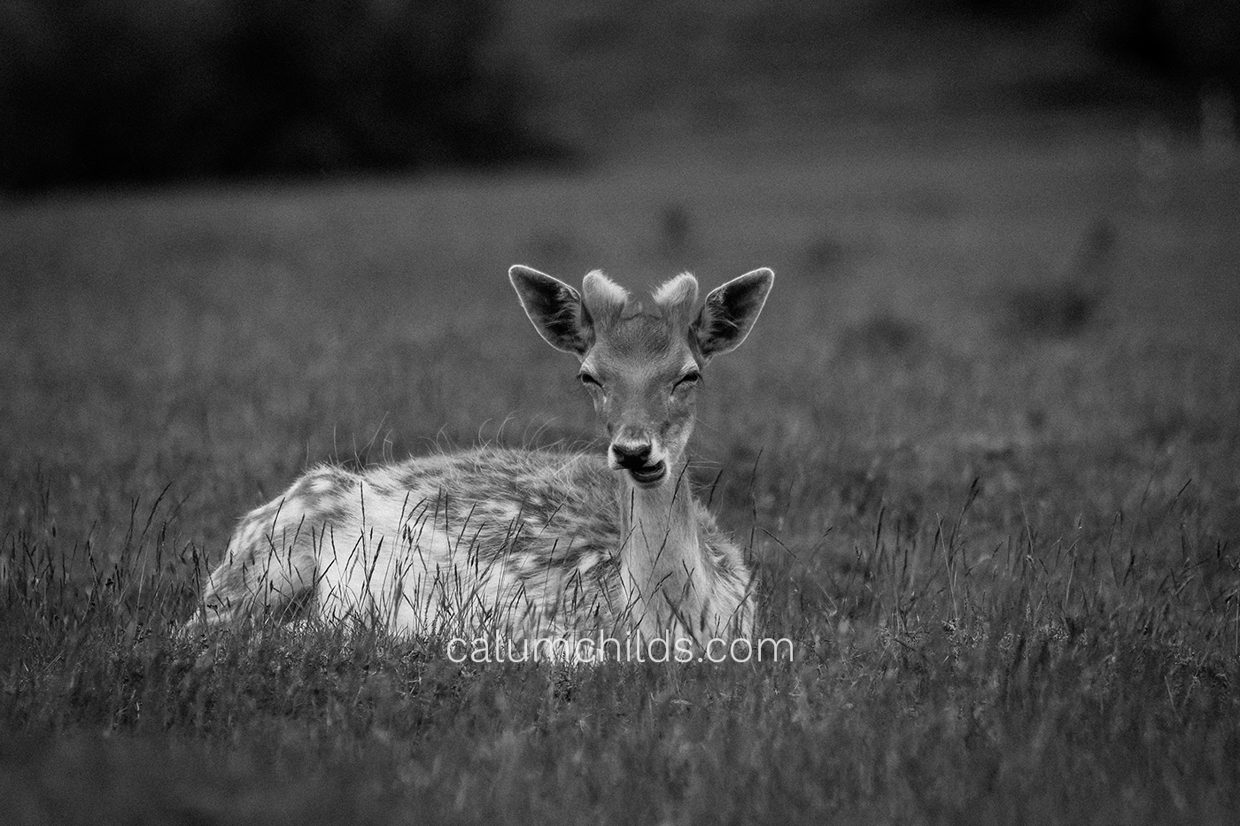 A doe is chewing some grass (not visible) whilst looking at the camera with suspicion.